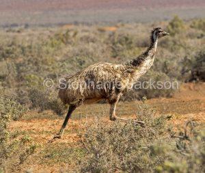 Australian emu, Dromaius novaehollandiae, running