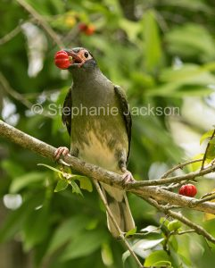 Male Australian green figbird, Sphecotheres vieilloti eating fruit