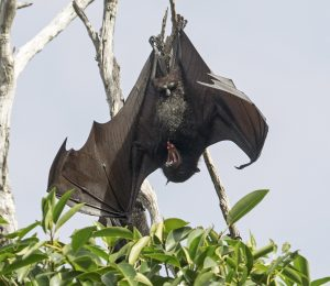 Australian fruit bat, grey-headed flying fox, Pteropus poliocephalus