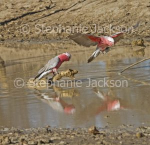 Australian galahs, Eolophus roseicapilla, at outback waterhole with one in flight
