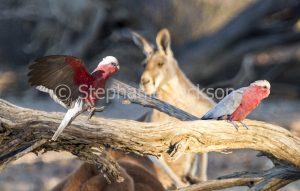 Australian galahs, pink cockatoos, Eolophus roseicapilla, with red kangaroo in background
