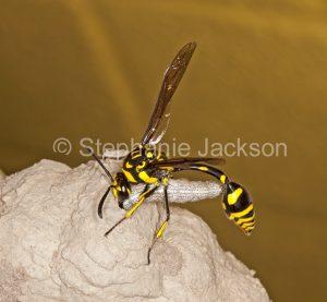 Potter / masonry wasp / hornet, Abispa ephippium, a vespid wasp on mud nest with caterpillar