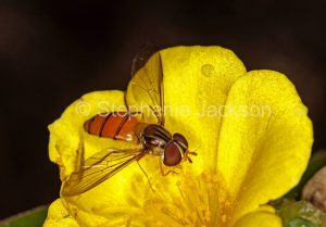 Australian beneficial insects, Black banded hover fly, Episyrphus species, on yellow flower