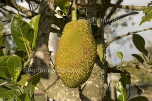 Jackfruit, Artocarpus heterophyllus, unusual tropical fruit growing on a tree in Australia