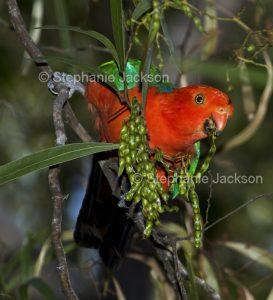 Australian king parrot, Alisterus scapularis, feeding on wattle seeds