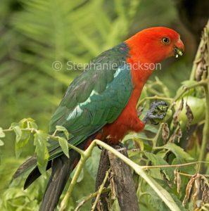 Australian male king parrot, Alisterus scapularis eating tomato