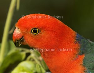 Face of male Australian king parrot, Alisterus scapularis