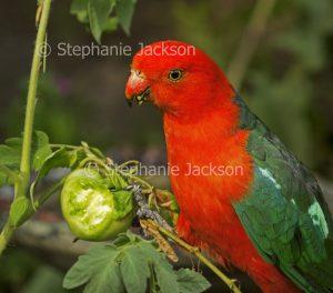 Male Australian king parrot, Alisterus scapularis eating tomato