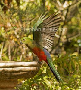 Australian king parrot, Alisterus scapularis, in flight