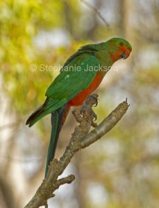 Juvenile male king parrot, Alisterus scapularis, moulting