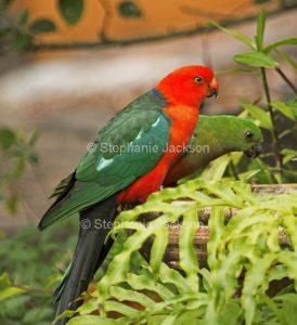 Pair of Australian king parrots, Alisterus scapularis