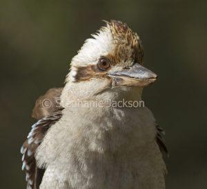 Face of Australian kookaburra, Laughing Jackass, Dacelo novaeguineae