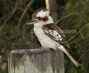 Australian kookaburra, Laughing Jackass, Dacelo novaeguineae
