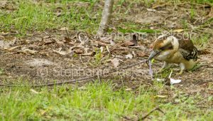 Australian kookaburra, Laughing Jackass, Dacelo novaeguineae, eating worm