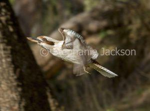 Australian kookaburra, Laughing Jackass, Dacelo novaeguineae, in flight