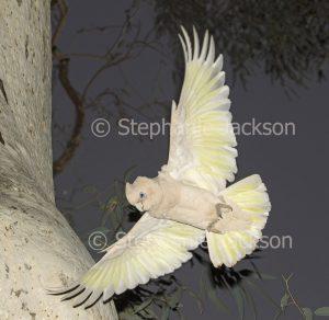 Australian cockatoo, Little Corella, Cacatua sanguinea, in flight