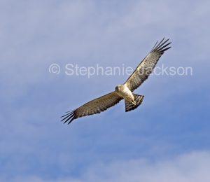 Little eagle, Heiraaetus morphnoides, in flight