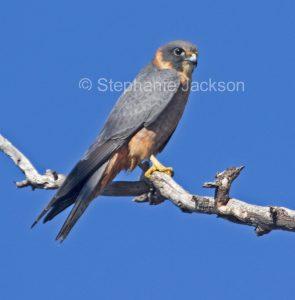 Australian birds of prey / raptors, Little falcon, Australian hobby, Falco longipennis
