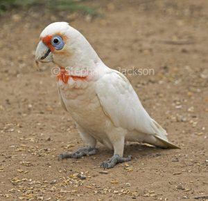 Australian parrot, Long-billed corella, Cacatua tenuirostris