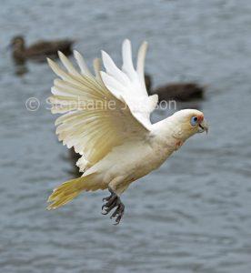 Australian parrot, Long-billed corella, Cacatua tenuirostris in flight