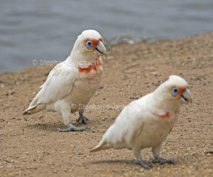 Australian parrots, Long-billed corellas, Cacatua tenuirostris
