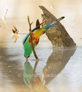 Male Mulga parrot, Psephotus varius, drinking from and reflected in water in outback Australia