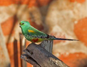 Mulga parrot, Psephotus varius