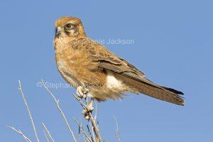Nankeen Kestrel, Falco cenchroides