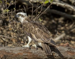 Eastern Osprey, Pandion cristatus