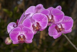 Pink / magenta and white speckled flowers of Phalaenopsis / Moth Orchid on dark background