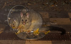Australian brushtail possum, Trichosurus vulpecula, and joey feeding