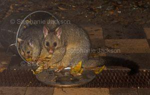 Australian brushtail possum, Trichosurus vulpecula, and joey feeding