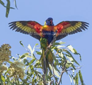 Rainbow lorikeet with wings outstretched against blue sky