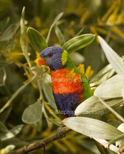 Rainbow lorikeet, Trichoglossus moluccanus