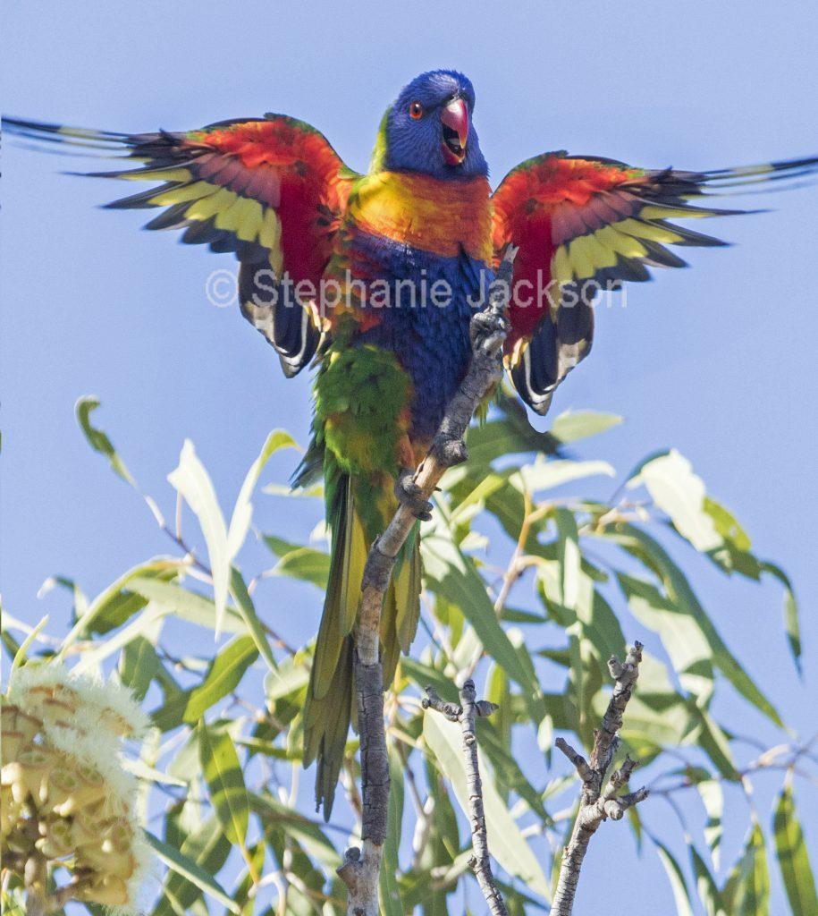 Photo of Australian bird, rainbow lorikeet,