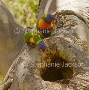 Australian parrots, rainbow lorikeets, Trichoglossus moluccanus, at nesting site
