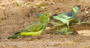 Female red-winged parrot, Aprosmictus erythropterus in outback NSW Australia