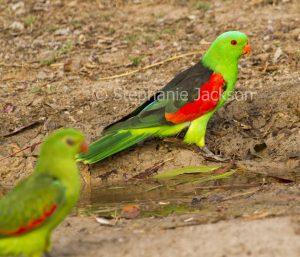 Male red-winged parrot, Aprosmictus erythropterus in outback NSW Australia