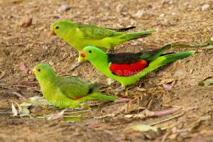 Pair of red-winged parrots, Aprosmictus erythropterus in outback Australia