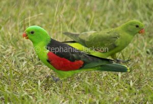Red-winged parrots, male and female,Aprosmictus erythropterus