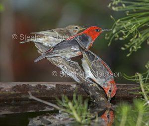 Scarlet honeyeaters, Myzomela sanguinolenta, at garden bird bath