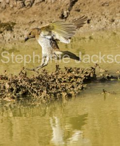 AQustralian birds, Spotted Bowerbird, Chlamydera maculata in flight in outback Australia