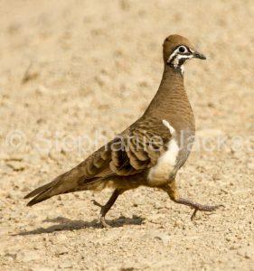 Rare and unusual Australian birds, squatter pigeon, Geophaps scripta