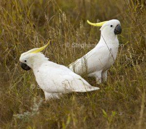 Sulphur-crested cockatoos, Cacatua galerita