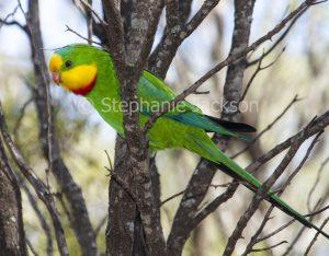 Superb parrot, Polytelis swainsonii