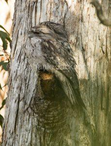 Australian nocturnal birds, Tawny frogmouth, Podargus strigoides