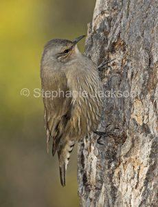 Australian birds, Brown tree creeper, Climacteris picumnus