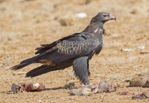 Wedge-tailed eagle, Aquila audax