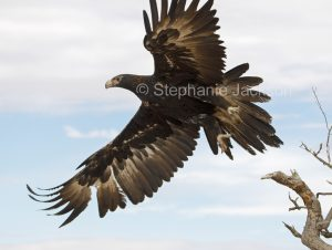 Wedge-tailed eagle, Aquila audax in flight