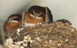 Welcome Swallow, Hirundo neoxena, chicks on nest